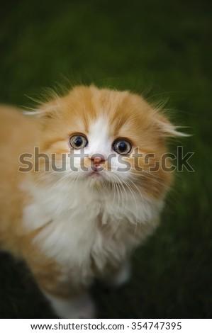 Scottish Fold Kitten in the grass looking up - stock photo