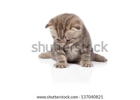 Scottish-fold kitten isolated on white background - stock photo