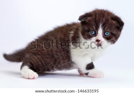 Scottish fold kitten. Kitten on a white background.  - stock photo