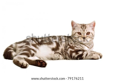 Scottish fold kitten lying isolated on white background