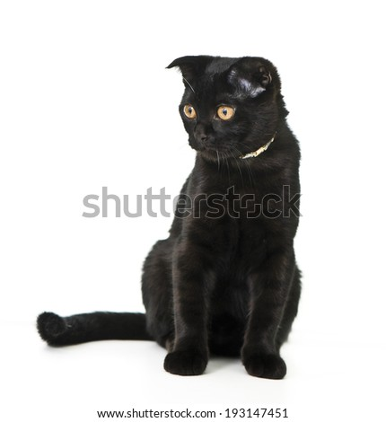 Scottish Fold Kitten, 8 months old - stock photo