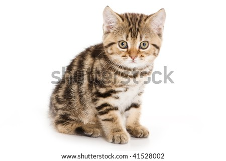 Scottish Fold kitten on white background