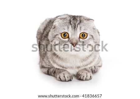 Scottish Fold kitten on white background - stock photo