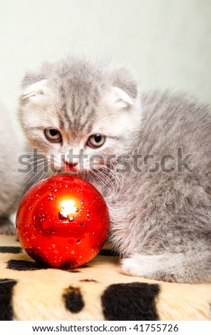 Scottish fold kitten  playing with the red Christmas decoration