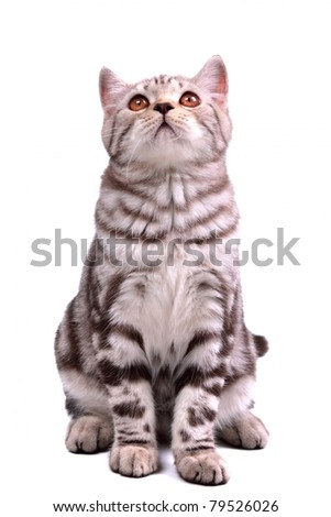 Scottish fold kitten sitting looking up - stock photo