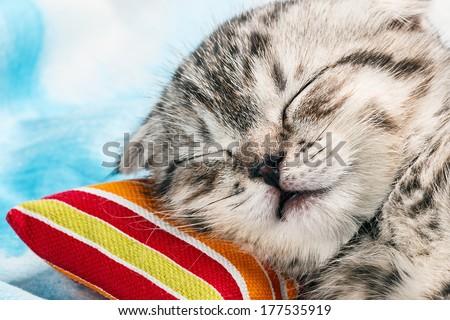 Scottish Fold kitten sleeping on a small pillow - stock photo