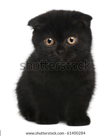 Scottish Fold Kitten, 11 weeks old, sitting in front of white background - stock photo