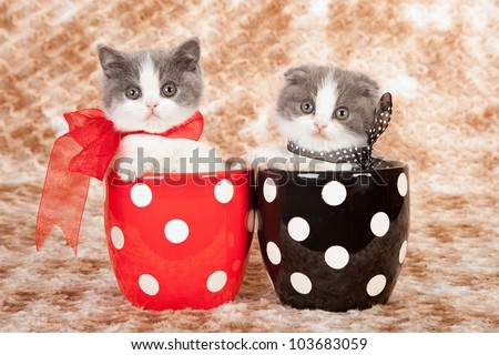Scottish Fold kittens in red and black polka dot pots on brown mottled fake fur background - stock photo
