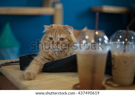 Scottish Fold Long Hair cat sitting on the table with coffee and tea - stock photo