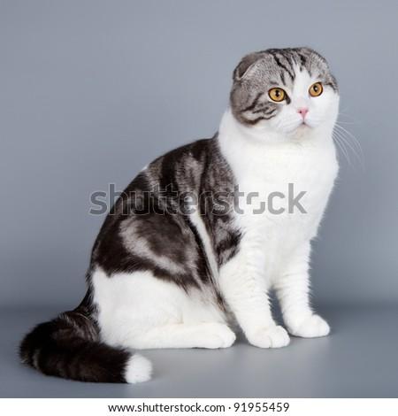 Scottish fold on grey background - stock photo