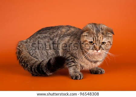 Scottish fold on orange background