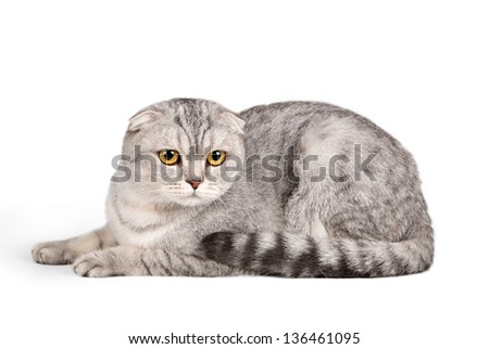 Scottish fold on white background - stock photo