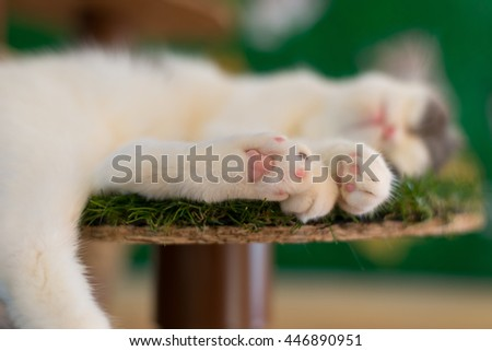 Scottish Fold's Paws while sleeping, focusing on the paw in the middle - stock photo