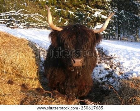 scottish highland cattle - stock photo