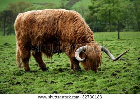 Scottish Highland Cow - stock photo