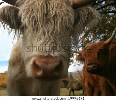 Scottish Highland Cow close-up - stock photo