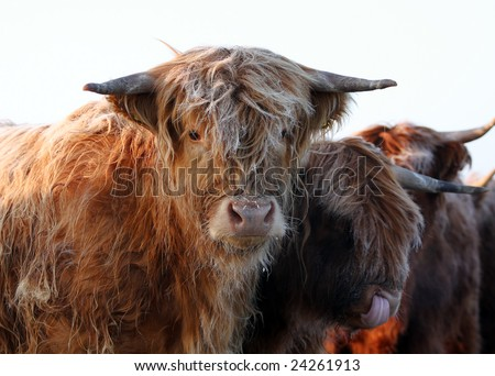 scottish highland cattle snow  Highland cattle in snow Stock