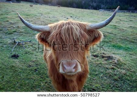 Scottish highland cow on freezing mountain pasture - stock photo