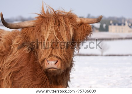 Scottish Highland cows, standing in snow - stock photo