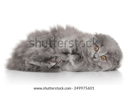 Scottish Highland fold kitten lying on her side. Portrait on white background - stock photo
