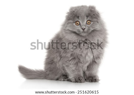 Scottish Highland fold kitten sits in front of white background - stock photo