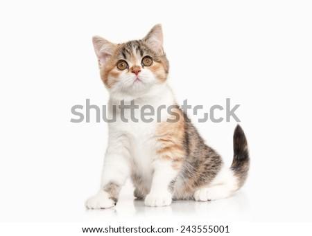 scottish highland kitten with white on white background - stock photo
