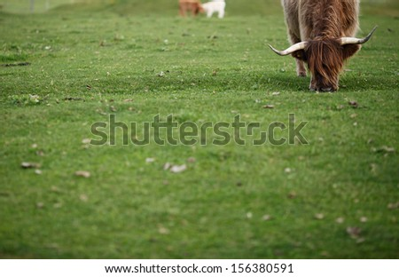 scottish highlander cow - stock photo