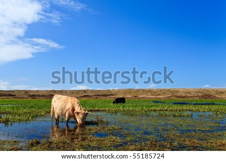 Scottish highlanders walking through the wetlands with blue sky