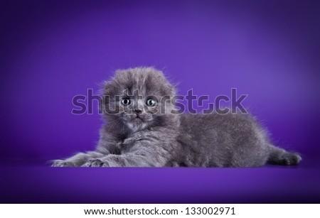 Scottish kitten - stock photo
