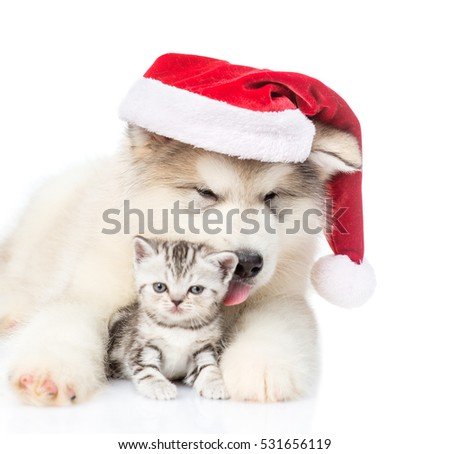 Scottish Kitten and alaskan malamute puppy in red christmas hat. isolated on white background