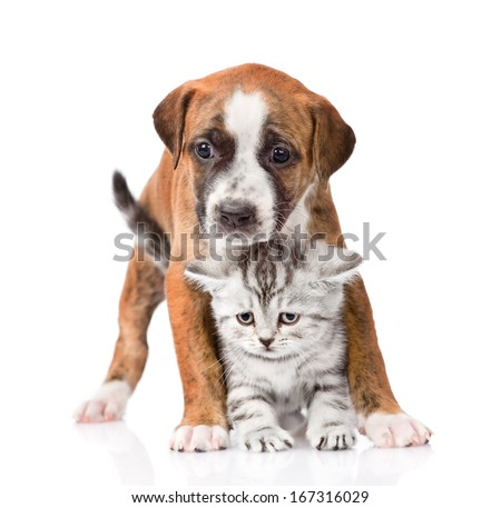 Scottish kitten and puppy looking at camera. isolated on white background