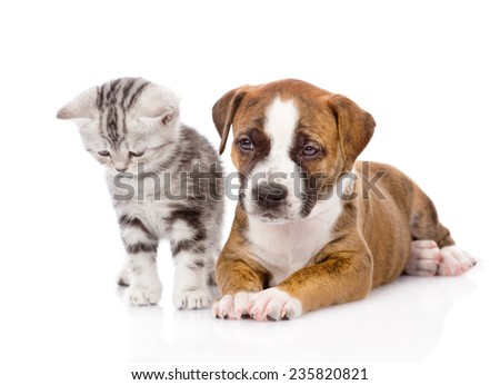 Scottish kitten and puppy together. isolated on white background - stock photo