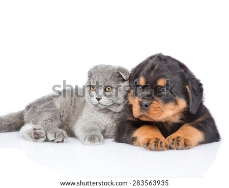Scottish kitten and rottweiler puppy lying together. Focus on cat. Isolated on white background - stock photo