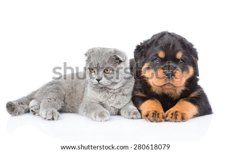 scottish kitten and rottweiler puppy lying together. Isolated on white background - stock photo