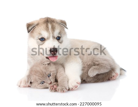 scottish kitten and Siberian Husky puppy playing together. isolated on white background