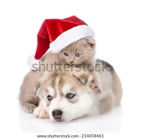 Scottish kitten and Siberian Husky puppy with santa hat. isolated on white background - stock photo