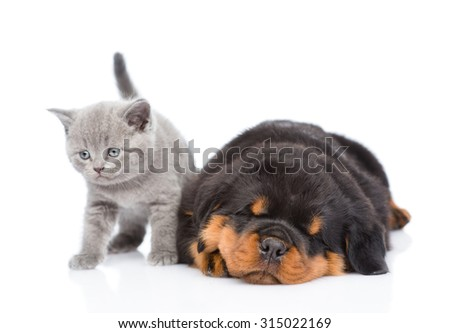 Scottish kitten and sleeping rottweiler puppy lying together. Isolated on white background - stock photo