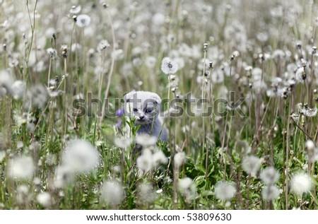 Scottish kitten in dandelions field - stock photo