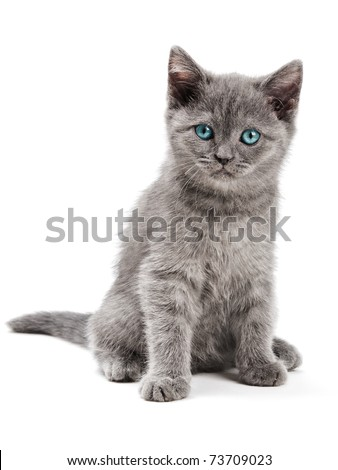 Scottish kitten on the white background