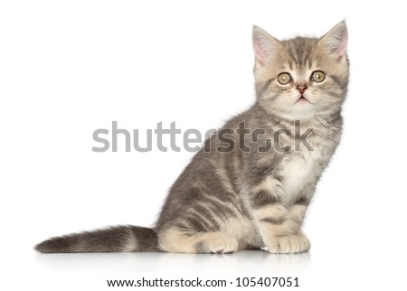Scottish kitten (one month) sits on a white background