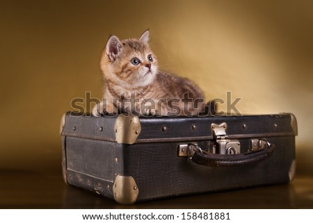 Scottish kitten, pedigreed cat - stock photo