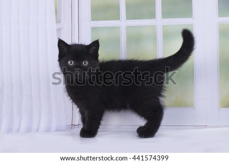 Scottish kitten playing against the window