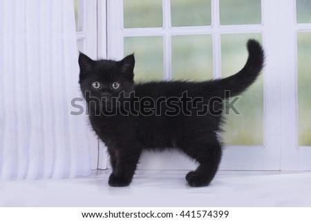 Scottish kitten playing against the window - stock photo