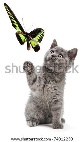 Scottish kitten swinging its paw on the white background - stock photo