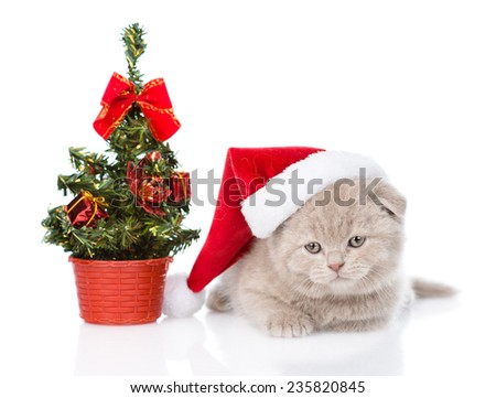 scottish kitten with red santa hat and christmas tree. isolated on white background - stock photo