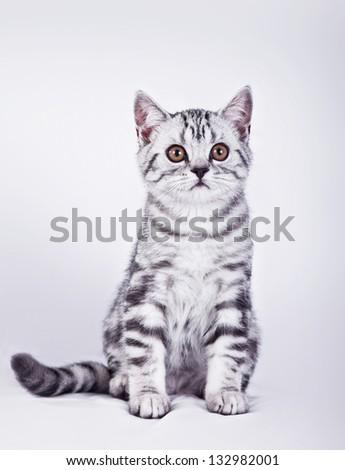 Scottish kittens - stock photo