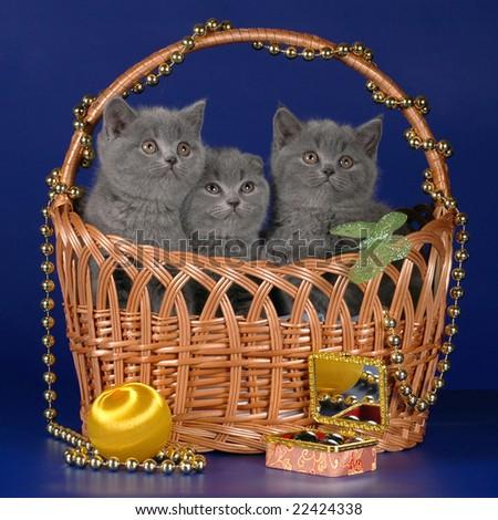 Scottish kittens in the basket - stock photo
