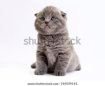 Scottish little kitten with blue eyes. Kitten on a white background. Scottish fold kitten - stock photo