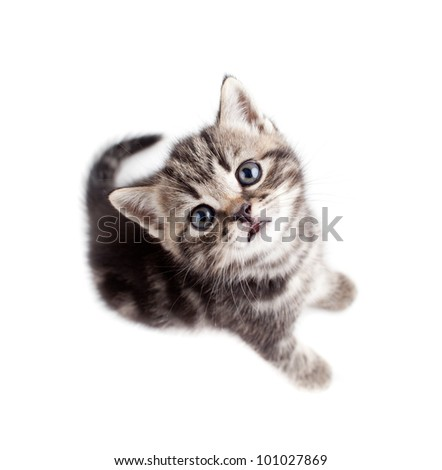 Scottish or british gray kitten top view isolated - stock photo
