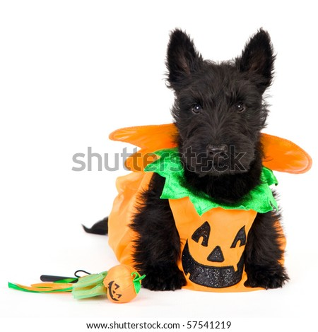 Scottish puppy in halloween pumpkin outfit, on white background - stock photo